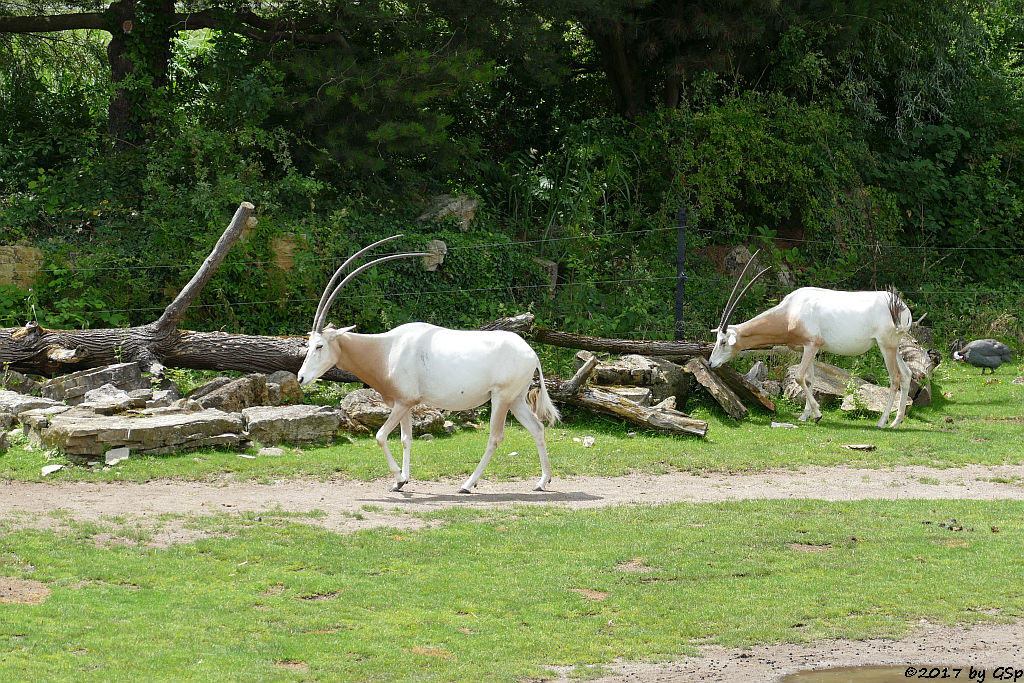 Säbelantilope, Helmperlhuhn