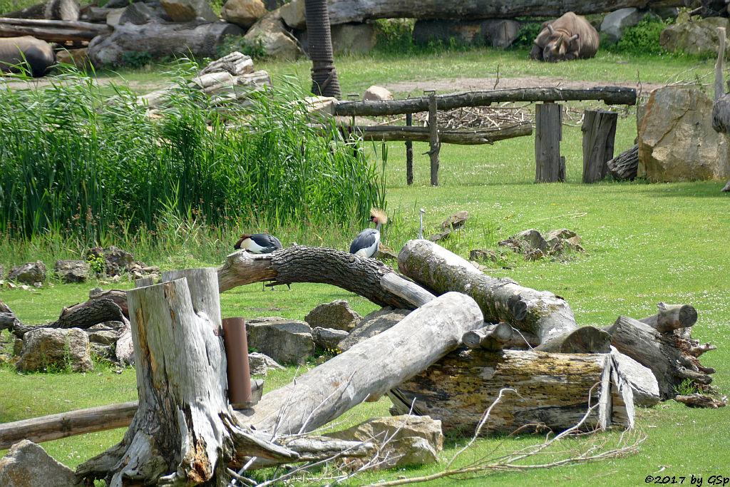 Südafrikanischer Kronenkranich, Spitzmaulnashorn (Spitzlippennashorn, Doppelnashorn)