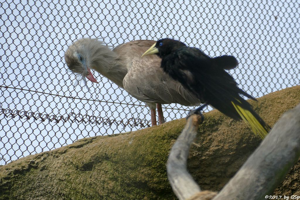 Rotfußseriema (Seriema, Haubenseriema), Krähenstirnvogel (Schwarzhaubenstärling)