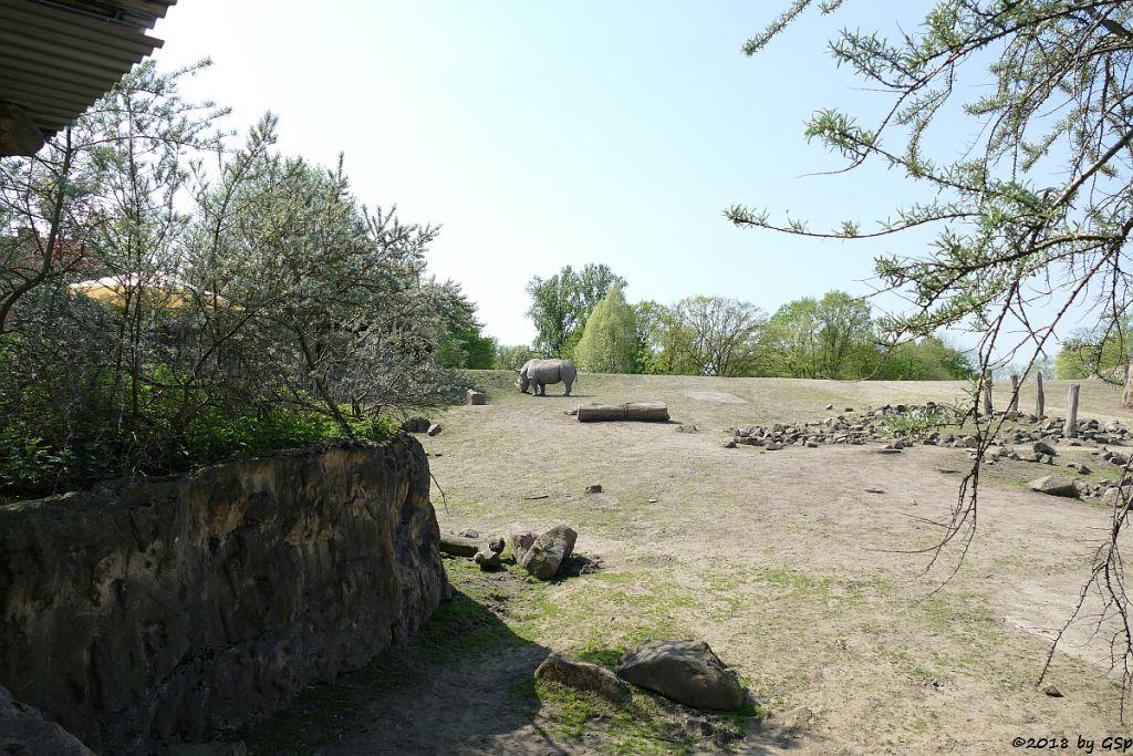 Südliches Breitmaulnashorn
