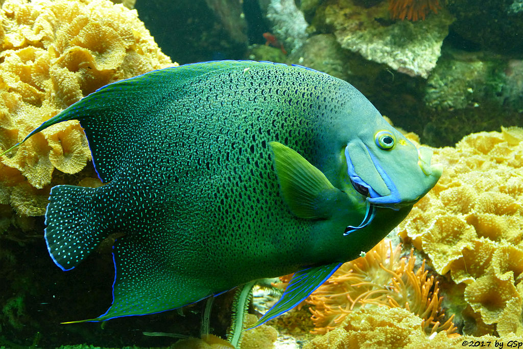 Koran-Kaiserfisch (Koranfisch, Blauer Kaiserfisch) 1