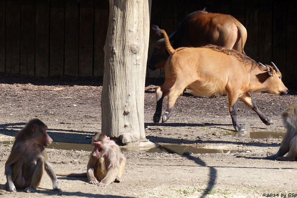 Mantelpavian, Rotbüffel