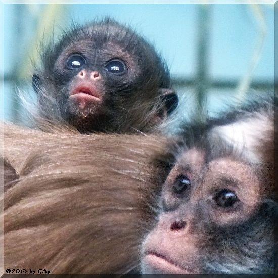 Goldstirnklammeraffe ELLI und OCANA's Baby