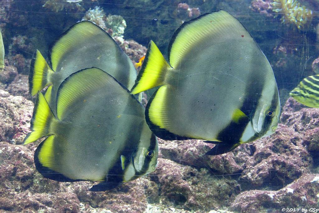 Rundkopf-Fledermausfischc (Gelblossen-Fledermausfisch, Gewöhnlicher Fledermausfisch)
