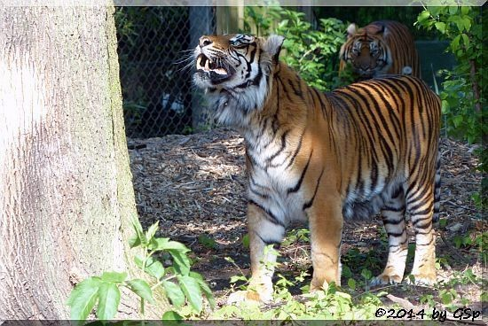 Sumatratiger IBAN und MALEA
