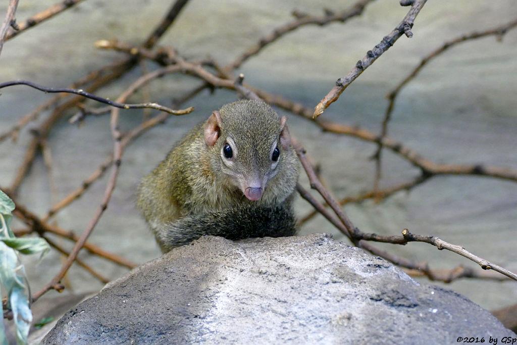 Spitzhörnchen (Tupaia)