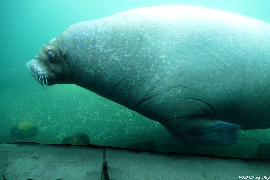 Pazifisches Walross