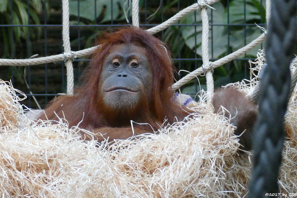 Sumatra-Orang-Utan KILA