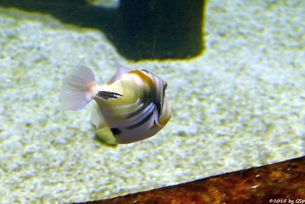 Gemeiner Picasso-Drückerfisch (Picassofisch)