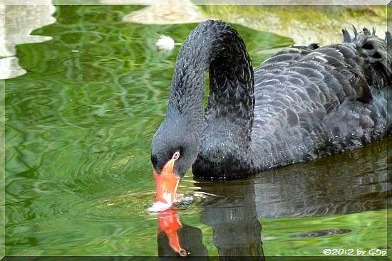 Schwarzschwan (Trauerschwan)