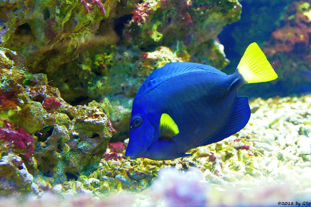 Blauer Segelflossen-Doktorfisch (Gelbschwanz-Seebader, Rotmeer-Segeldoktorfisch)