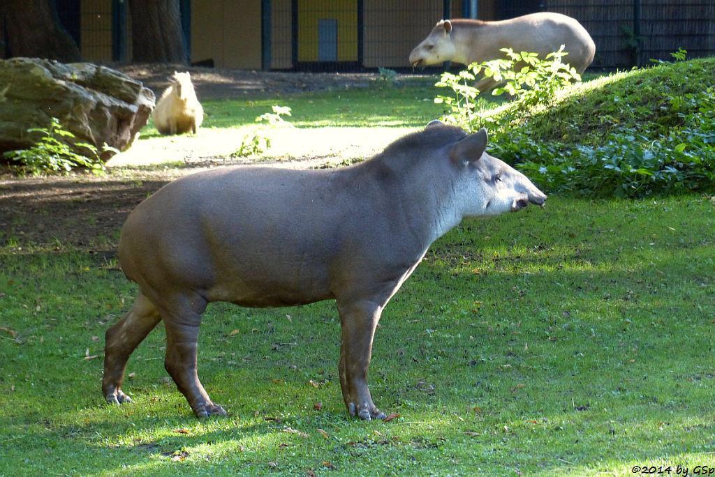 Flachlandtapir, Wasserschwein (Capybara)