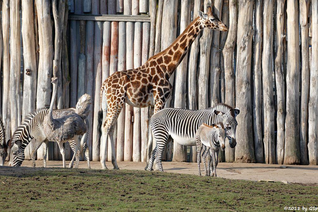 Grévy-Zebra, Nordafrikanischer Strauß (Nordafrikanischer Rothalsstrauß), Rothschildgiraffe (Uganda-Giraffe, Baringo-Giraffe)