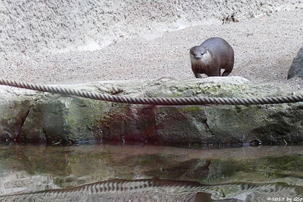 Zwergotter (Kurzkrallenotter)