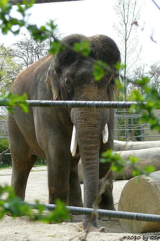 Asiatischer Elefant GAJENDRA