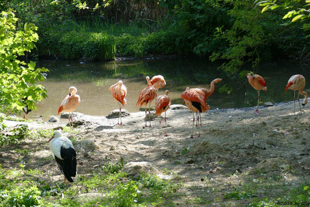 Weißstorch, Chileflamingo (Chilenischer Flamingo)