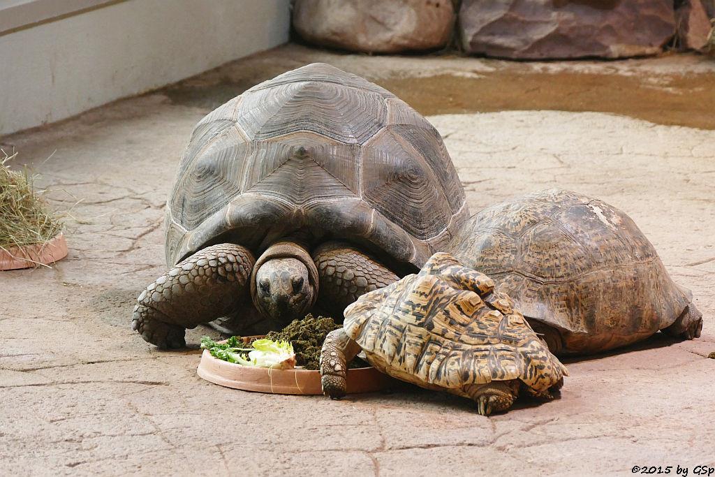 Aldabra-Riesenschildkröte, Panhterschildkröte,S trahlenschildkröte