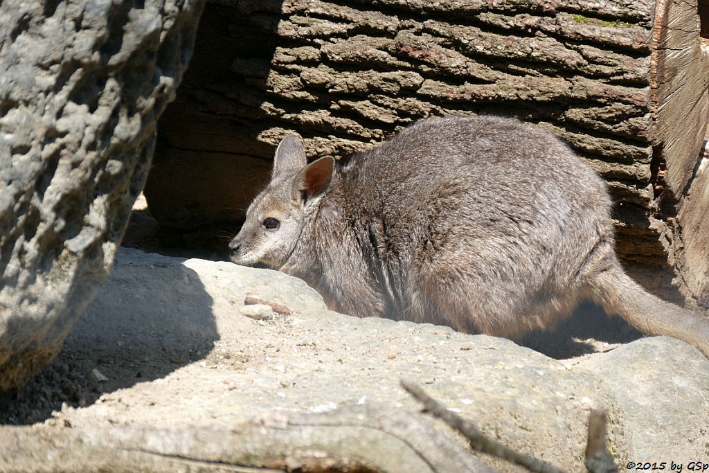 Tammar-Wallaby
