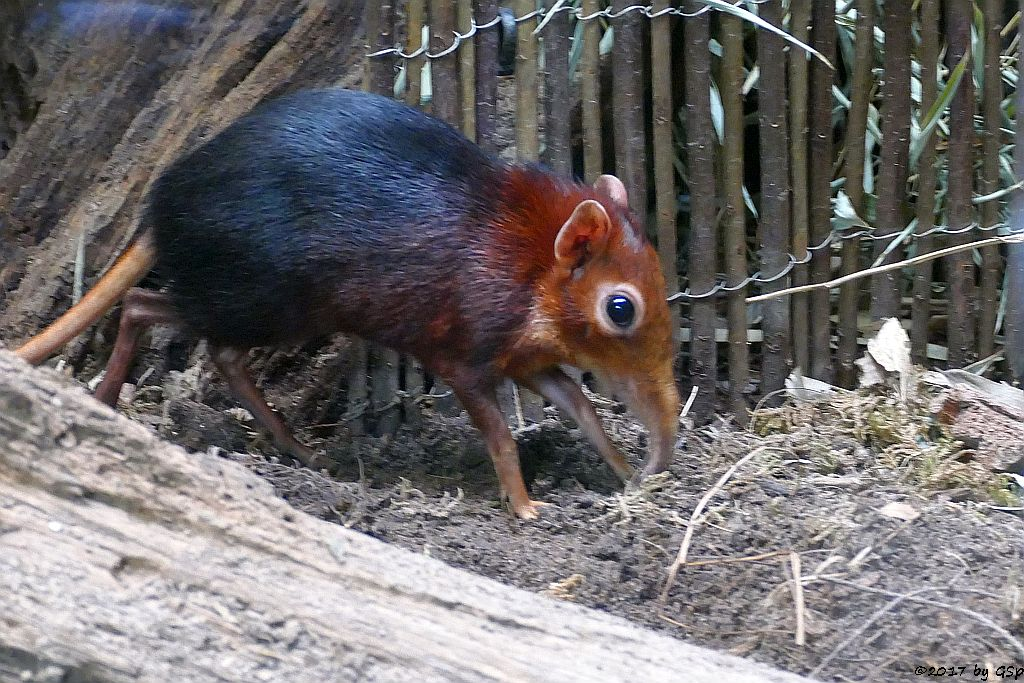 Rotschulter-Rüsselhündchen