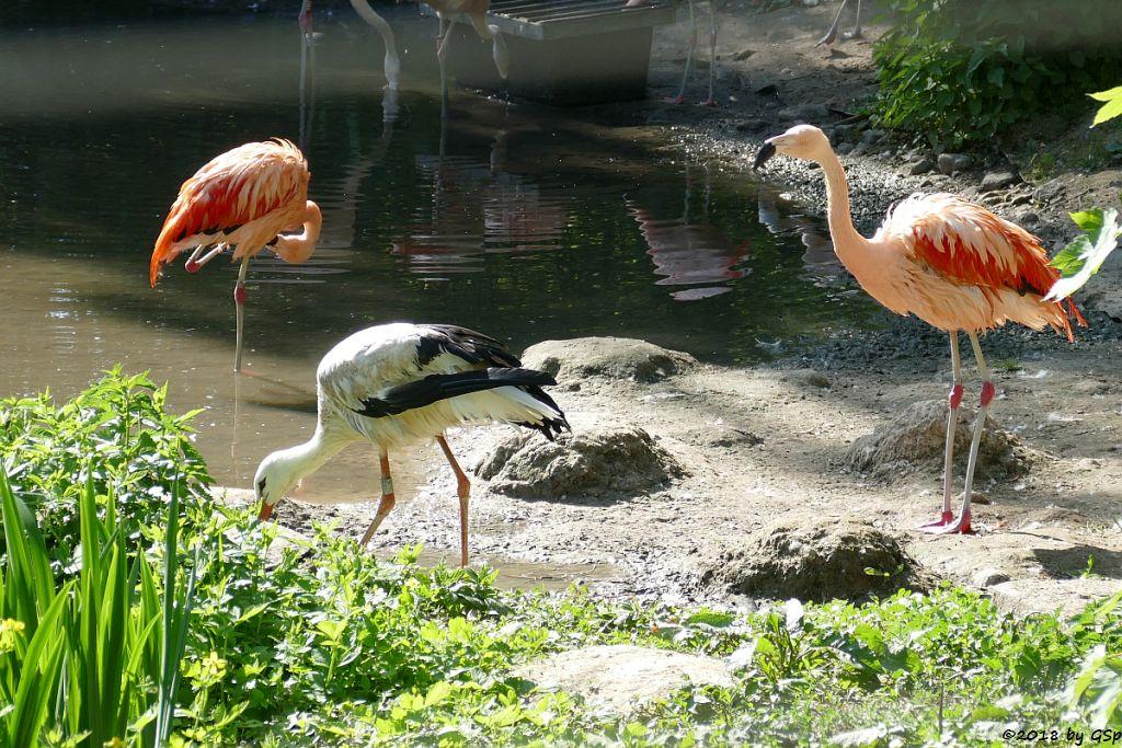 Chileflamingo (Chilenischer Flamingo), Weißstorch