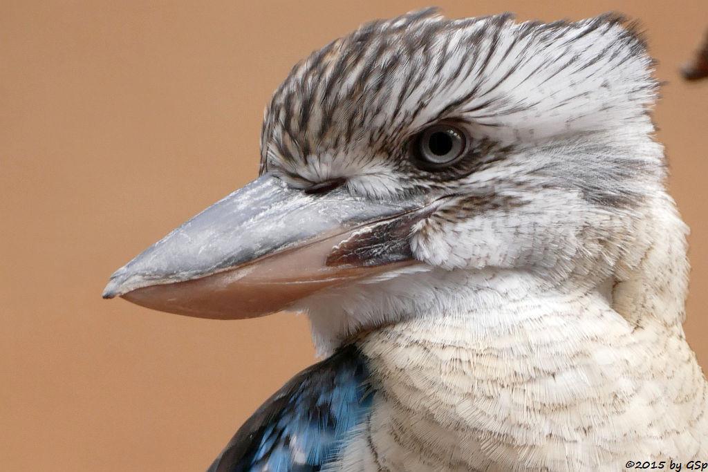 Blauflügeljägerliest (Blauflügel-Kookaburra)