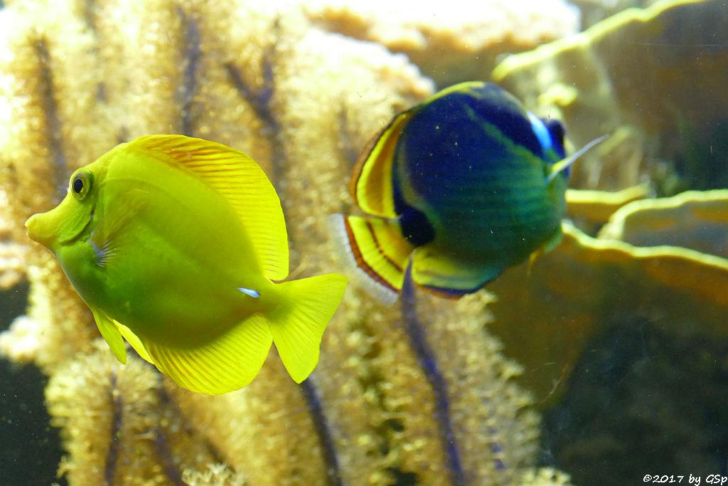 Gelber Segeldoktor, Mondsichel-Falterfisch (Mondfalterfisch)