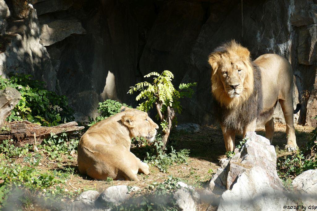 Asiatischer (Indischer) Löwe ZARINA und KUMAR