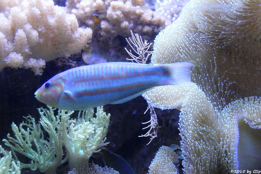 Regenbogen-Lippfisch