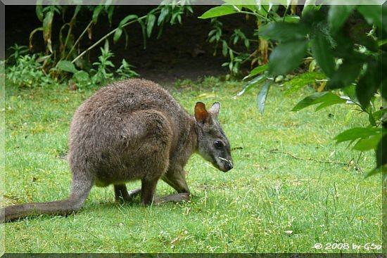 Parma-Känguru