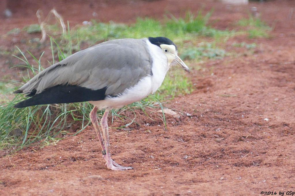 Maskenkiebitz (Soldatenkiebitz, Austral. Lappenkiebitz))