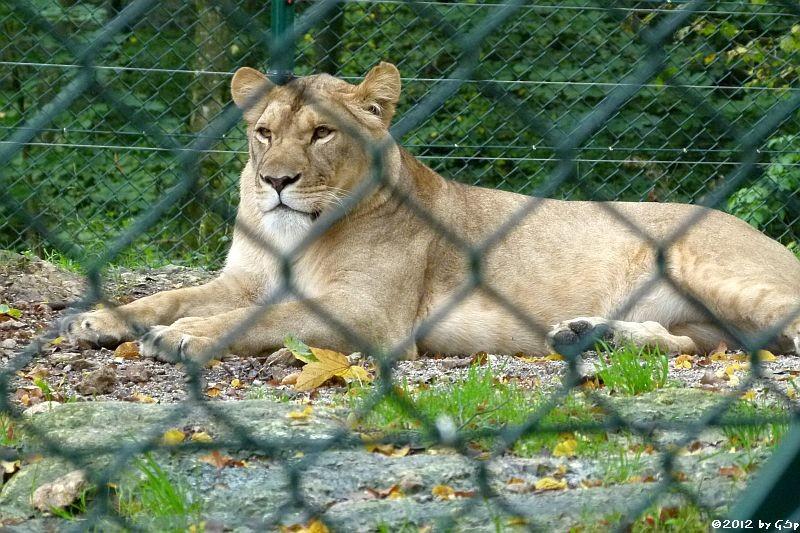 Angola-Löwin  (Katanga-Löwin) NALA