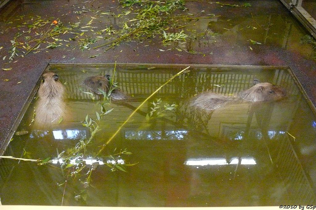 Capybara (Wasserschwein), Jungtier 5 Wo alt