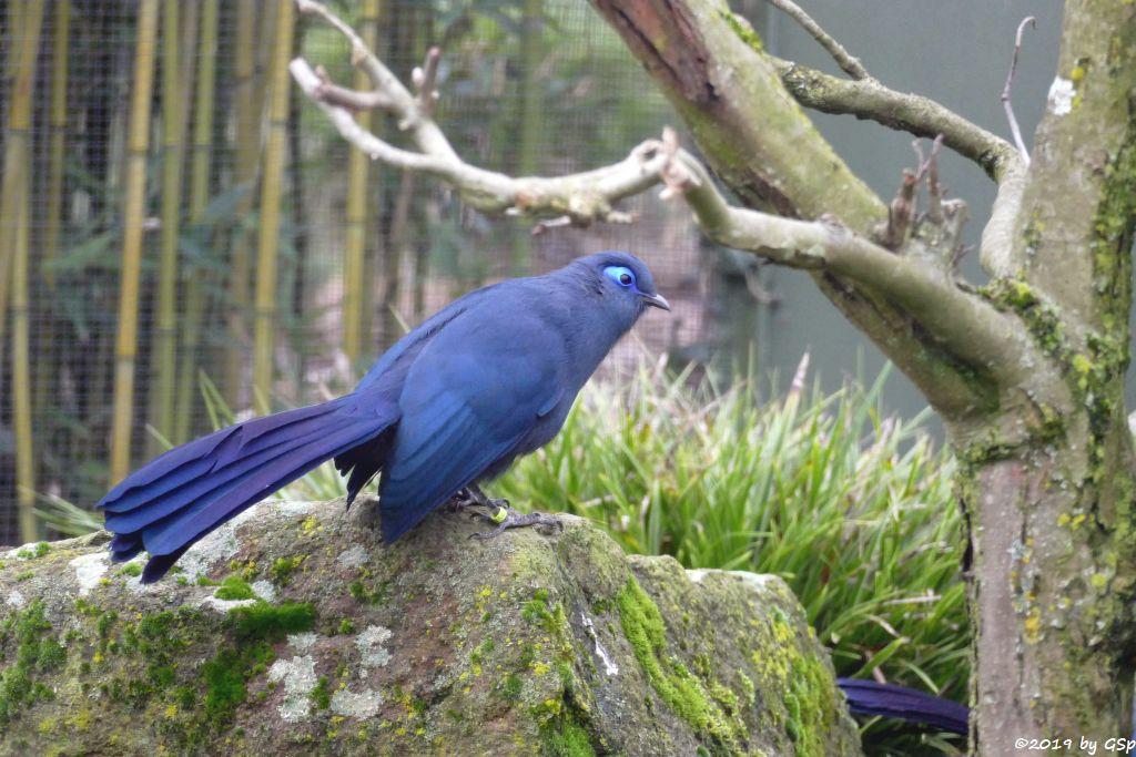 Blauseidenkuckuck (Blauer Seidenkuckuck)