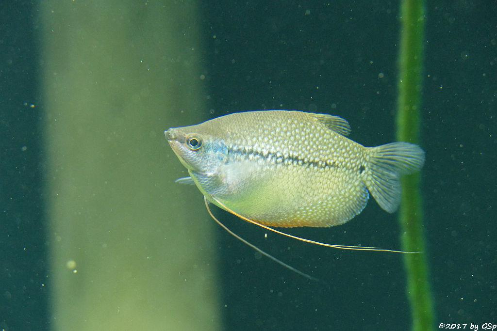 Mondschein-Fadenfisch