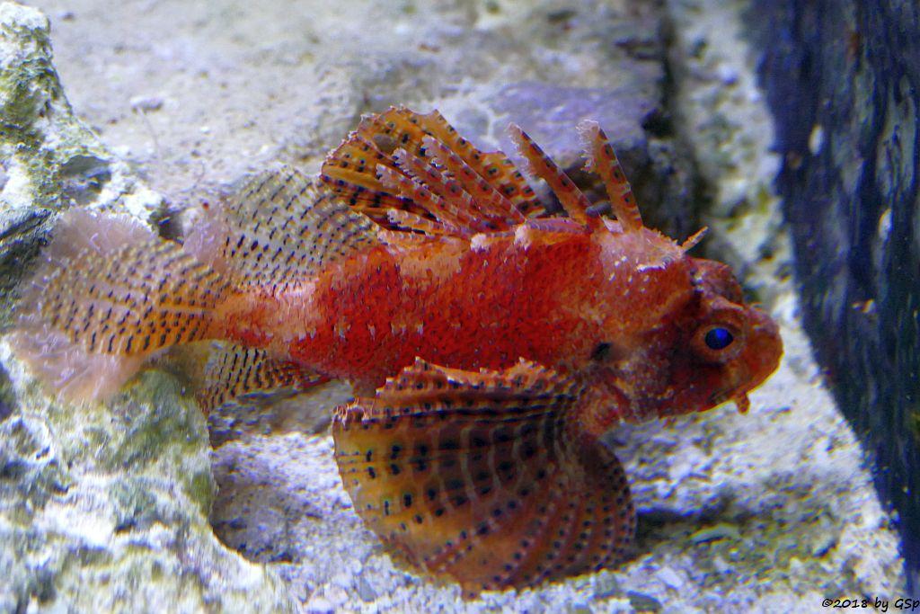 Kurzflossen-Zwergfeuerfisch