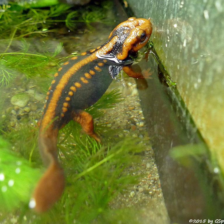Gelber (Chinesischer) Krokodilmolch