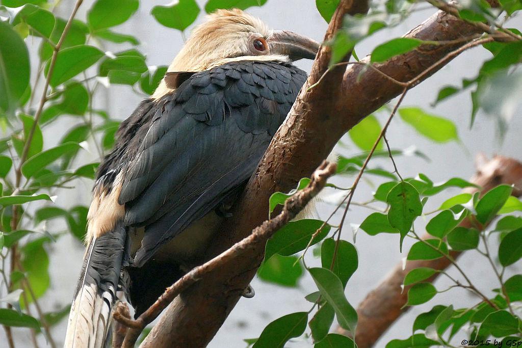 Tariktik-Hornvogel