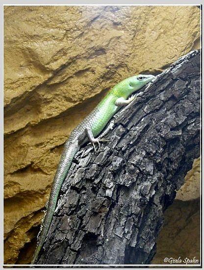 Smaragdskink