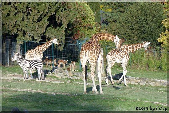 Zebra, Impala, Rothschildgiraffe