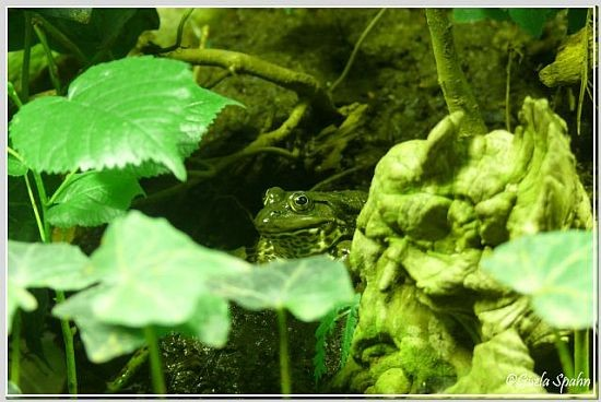 Wasserfrosch