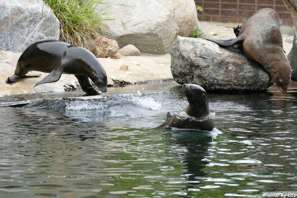 Kalifornischer Seelöwe, Südafrikanischer Seebär (Zwergseebär, Kap-Seebär) LIPPI