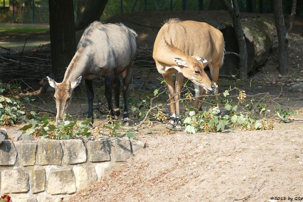 Nilgauantilope (Nilgau)