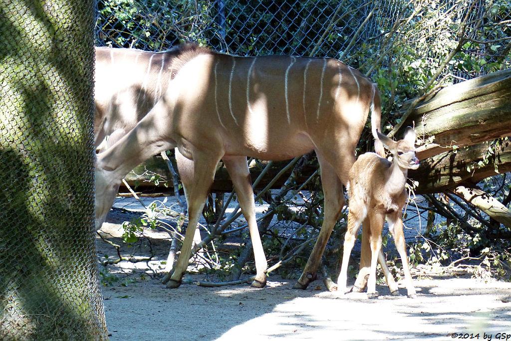 Großer Kudu, Jungtier geb. am 14.08.14