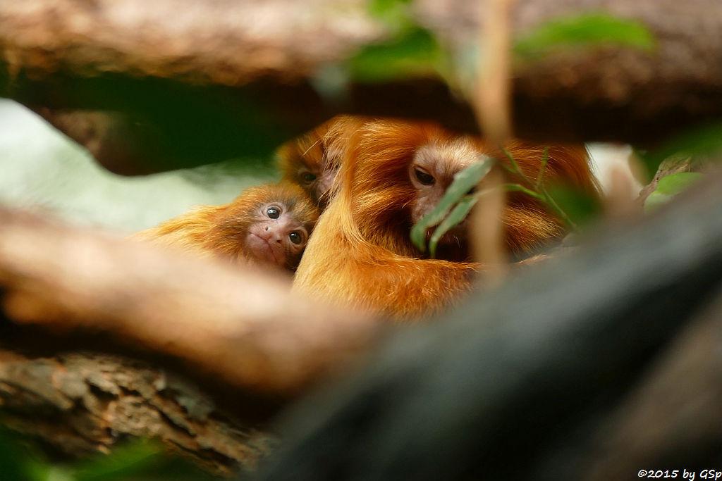 Goldgelbes Löwenäffchen, Jungtiere geb. am 28.3.15 (25 Tage)
