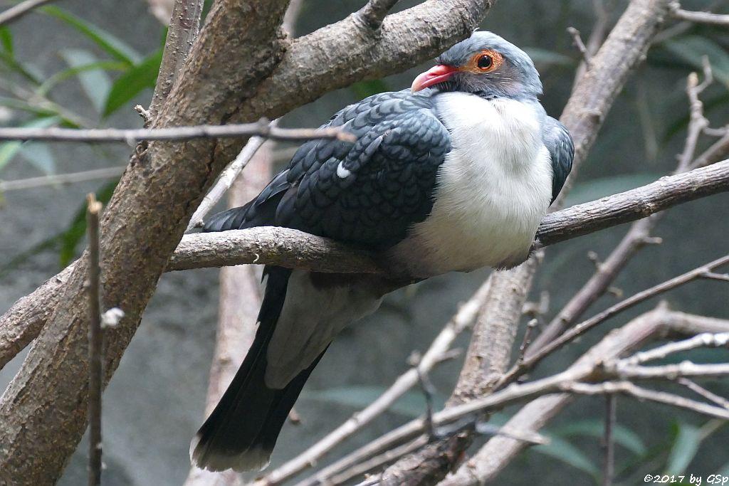 Albertistaube (Nackentaube, Papua-Bergtaube)