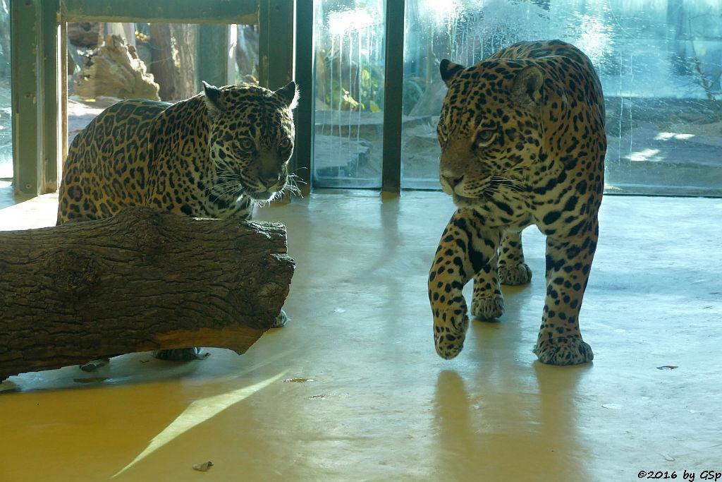 Jaguar LADYBIRD und MUPPET