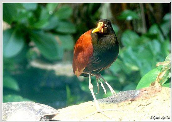 Rotstirnjassana (Südamerikan. Blatthühnchen)