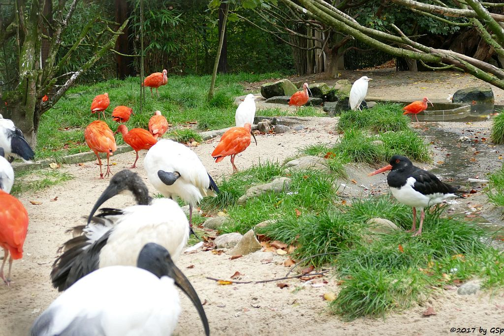 Heiliger Ibis, Roter Sichler (Scharlachibis, Rotibis), Kuhreiher, Austernfischer