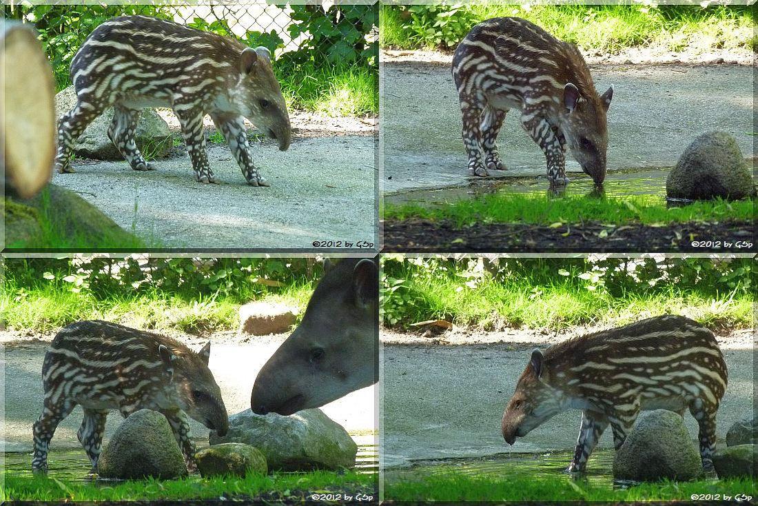 Flachland-Tapir geb. am 1.5.12