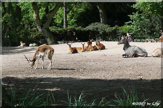 Hirschziegenantilope, Vietnam-Sikahirsch u. Nilgauantilope